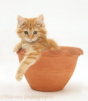 Ginger Maine Coon kitten in a flowerpot