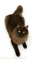 Fluffy dark chocolate Birman-cross cat looking up