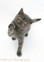 Grey kitten reaching up