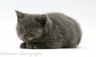 Sleepy grey kitten
