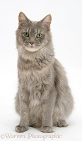 Maine Coon cat sitting