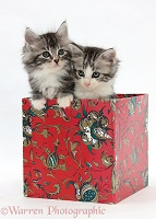 Maine Coon-cross kittens, 7 weeks old, in a box