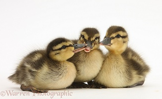 Three Mallard ducklings