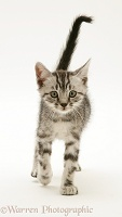Brown tabby kitten walking forward with tail up