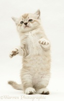 Birman-cross kitten dancing