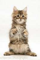 Tabby Maine Coon kitten dancing