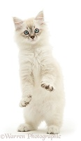 Sepia tabby-point Birman-cross kitten standing up