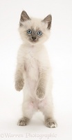 Blue-point Birman-cross kitten standing up