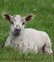 Lamb in late spring