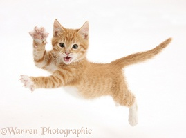 Ginger kitten leaping with arms outstretched