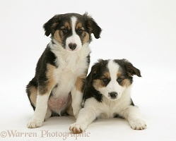 Tricolour Border Collie pups, brothers