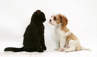 Cavalier King Charles Spaniel pup with a black cat