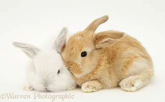 Baby white and sandy Lop rabbits