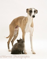 Whippet and grey kitten