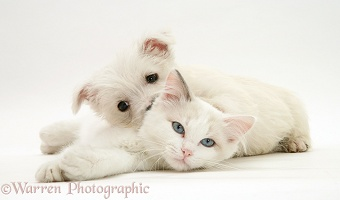 Ragdoll kitten with Westie pup