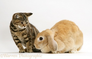 Tabby kitten and Sandy Lop rabbit