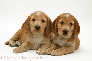 Golden Cocker Spaniel pups