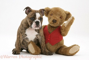 Bulldog pup and teddy bear