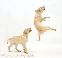 Yellow Labrador pups, 5 months old, leaping and playing
