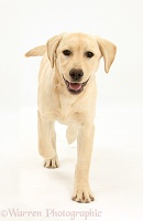 Yellow Labrador pup, 5 months old, running forward