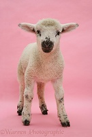Lamb on pink background