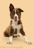 Chocolate-and-white Border Collie pup
