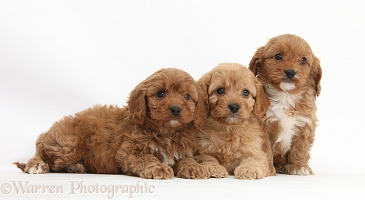 Three Cavapoo pups, 6 weeks old