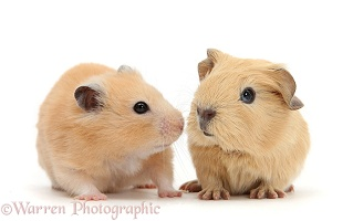 Baby Guinea pig and Golden Hamster