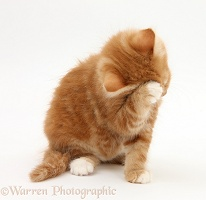 Ginger kitten grooming his face