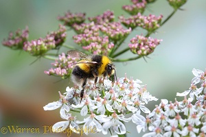 Common White-tailed Bumblebee on hogweed