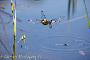 Broad-bodied Chaser Dragonfly over pond