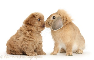 Peekapoo pup nose-to-nose with Sandy Lop rabbit