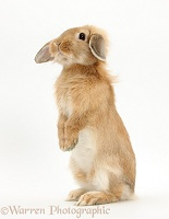 Sandy Lop rabbit sitting up on its haunches