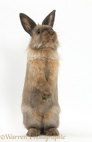 Lionhead-cross rabbit sitting up on its haunches