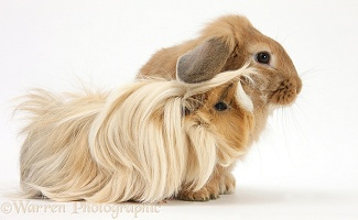 Bad-hair-day Guinea pig and Sandy Lop rabbit