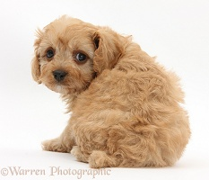 Cavapoo pup looking over its shoulder