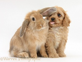 Cavapoo pup and Sandy Lop rabbit
