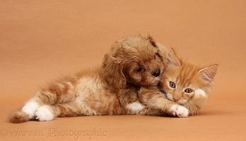 Cavapoo pup and ginger kitten on brown background