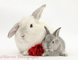 White and silver Lop rabbits and rose