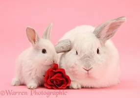 White Lop rabbits and rose