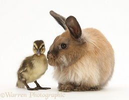 Young Lionhead-Lop rabbit and Mallard duckling