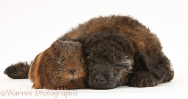 Sleepy red merle Toy Poodle pup, and baby Guinea pig