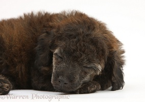 Red merle Toy Poodle pup, 7 weeks old, asleep