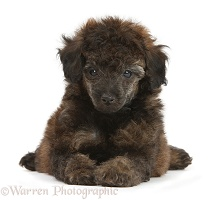 Red brindle Toy Poodle pup, 7 weeks old