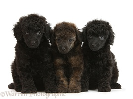 Black and red merle Toy Poodle pups, 7 weeks old