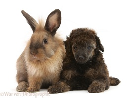 Red merle Toy Poodle pup and Lionhead-cross rabbit