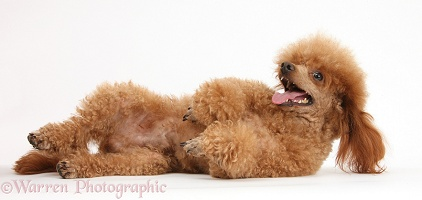 Red toy poodle dog lying on his back