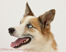 Sable-and-white Border Collie