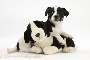Jack Russell Terrier pup with toy dog