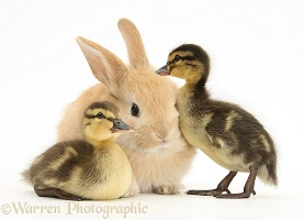 Young Sandy Lop rabbit and Mallard duckling